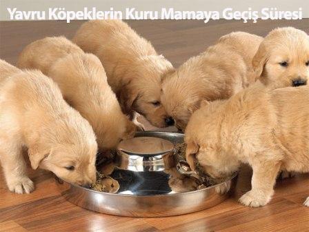 Yavru Köpeklerin Kuru Mamaya Geçiş Süresi