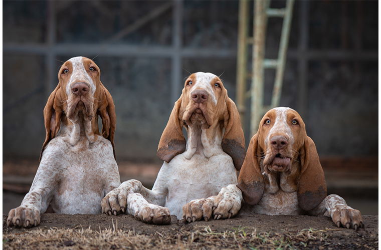 Bracco Italiano Köpek Irkı Özellikleri