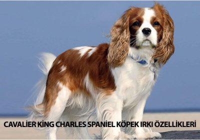 Cavalier King Charles Spaniel İyi ve sempatik karakteriyle dikkat çeken, apartman dairelerinde rahatlıkla beslenebilecek köpek ırklarından biridir.