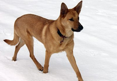 Chinook Köpek Irkı Özellikleri