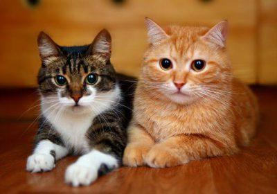 kedilerde FIV hastalığı ve belirtileri