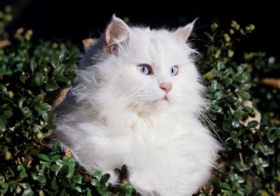 ankara_cat
