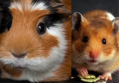 gine_pig_hamster