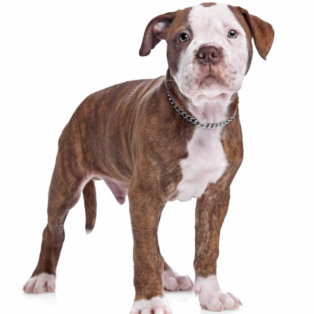 amerikanbulldog1