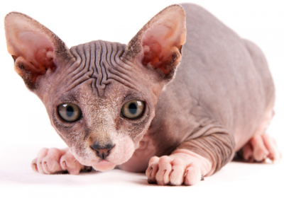 sfenkscat