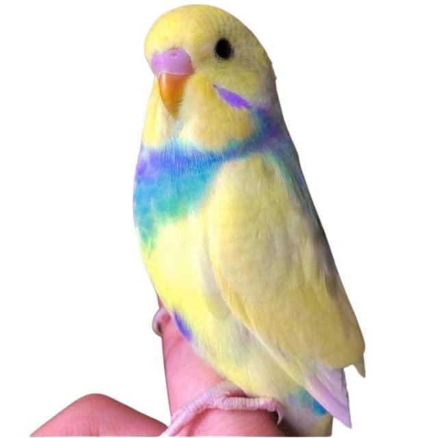 Rainbow Muhabbet Kuşu Özellikleri ve Bakımı